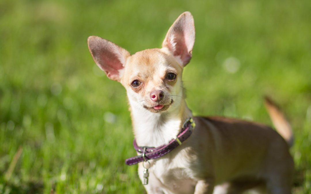 Chihuahua Puppy Adoption Singapore SingaporePuppyAdoption