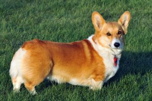 Corgi Puppy Adoption and For Sale Singapore SingaporePuppyAdoption