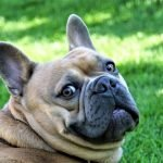 French Bulldog Puppy Adoption Singapore SingaporePuppyAdoption