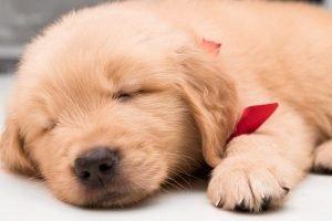 Golden Retriever Adoption Singapore Puppy SingaporePuppyAdoption