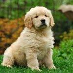 Golden Retriever Puppy Adoption Singapore SingaporePuppyAdoption