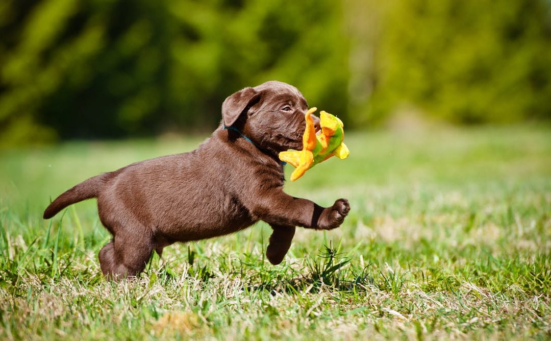 Labrador Retriever Puppy Adoption Singapore SingaporePuppyAdoption