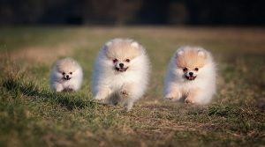 Pomeranian Adoption Singapore Puppy SingaporePuppyAdoption