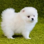 Pomoranian Puppy Adoption Singapore SingaporePuppyAdoption