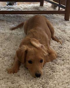 Quigley Golden Retriever Adoption Singapore Puppy SingaporePuppyAdoption
