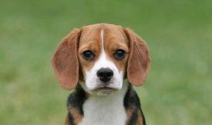 Beagle Adoption Singapore PuppyAdoptionSingapore