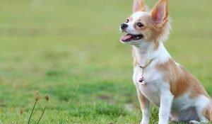 Chihuahua Singapore Puppy SingaporePuppyAdoption