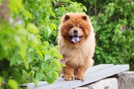 Chow Chow Adoption Singapore PuppyAdoptionSingapore