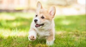 Corgi Adoption Singapore PuppyAdoptionSingapore