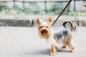 How I Stopped My Dog From Pulling on the Leash SingaporePuppyAdoption Blog