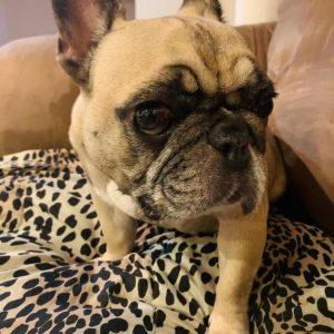 Doris French Bulldog Adoption Singapore PuppyAdoptionSingapore