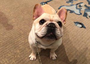 French Bulldog Adoption Singapore PuppyAdoptionSingapore