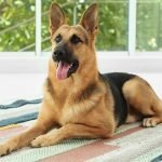 German Shepherd Adoption Singapore PuppyAdoptionSingapore