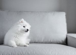 Japanese Spitz Adoption Singapore PuppyAdoptionSingapore