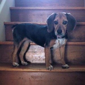 Kenza Beagle Adoption Singapore PuppyAdoptionSingapore