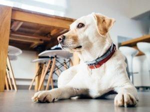 Labrador Retriever Adoption Singapore PuppyAdoptionSingapore