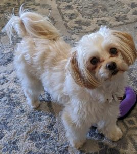 Lily Maltese Adoption Singapore PuppyAdoptionSingapore