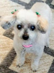 Lola Maltese Adoption Singapore PuppyAdoptionSingapore