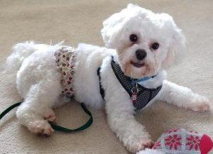 Lucky Maltese Adoption Singapore PuppyAdoptionSingapore