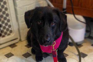 Ludo Bogie Corgi Adoption Singapore PuppyAdoptionSingapore