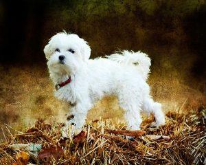 Maltese Adoption Singapore PuppyAdoptionSingapore