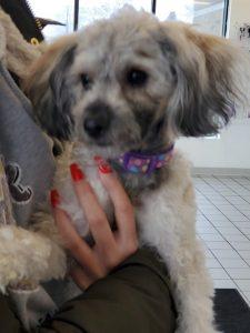 Morgan Maltese Adoption Singapore PuppyAdoptionSingapore