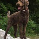 Standard Poodle Adoption Singapore PuppyAdoptionSingapore