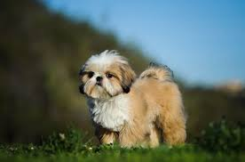 Shih Tzu Adoption Singapore PuppyAdoptionSingapore