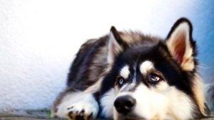 Siberian Husky Adoption Singapore PuppyAdoptionSingapore