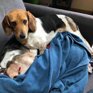 Trig Beagle Adoption Singapore PuppyAdoptionSingapore