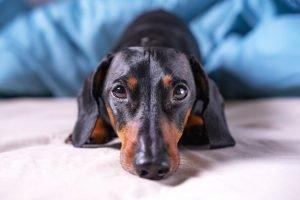 Dachshund For Adoption For Sale Singapore PuppyAdoptionSingapore