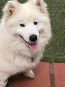 Eni Samoyed Adoption Singapore PuppyAdoptionSingapore