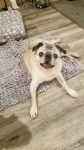 Milo Pug Adoption Singapore PuppyAdoptionSingapore