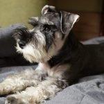 Miniature Schnauzer Adoption Singapore PuppyAdoptionSingapore