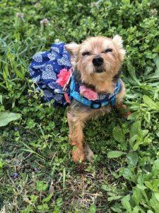 Patsy Yorkshire Terrier Adoption Singapore PuppyAdoptionSingapore