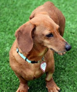 Peanut Dachshund For Adoption For Sale Singapore PuppyAdoptionSingapore