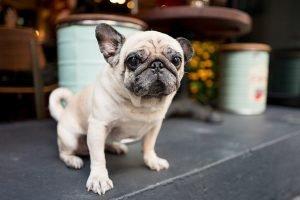 Pug Adoption Singapore PuppyAdoptionSingapore