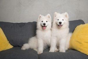 Samoyed Adoption Singapore PuppyAdoptionSingapore
