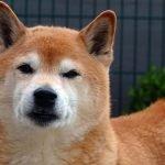 Shiba Inu For Adoption For Sale Singapore PuppyAdoptionSingapore
