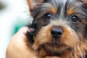 Silky Terrier Adoption Singapore PuppyAdoptionSingapore