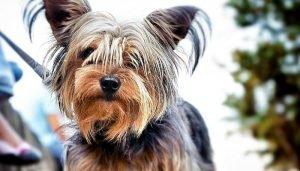 Yorkshire Terrier Adoption Singapore PuppyAdoptionSingapore